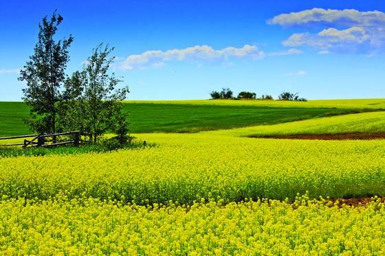 Mustard_fields