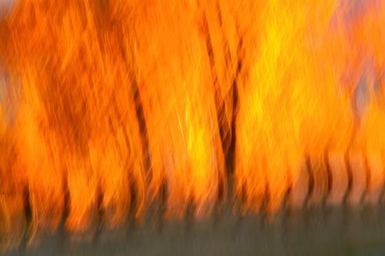 Firey_aspens