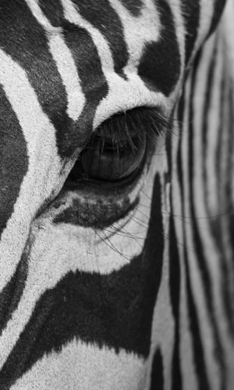 Zebra_eye