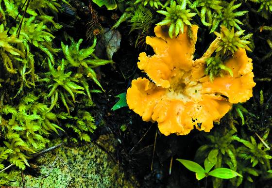 Yellow_fungus