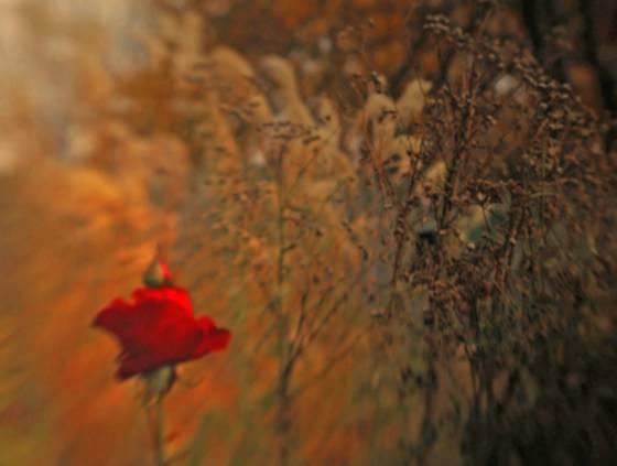 Fall_rose