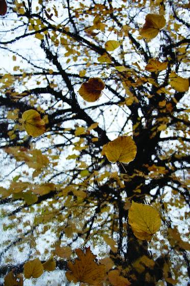 Fall_from_the_series_1_tree