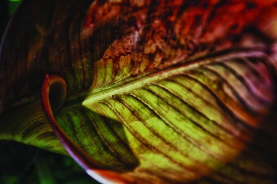 Canna_leaf