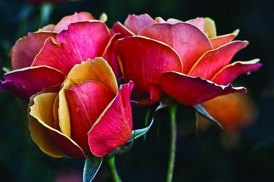 Rose_garden_-1