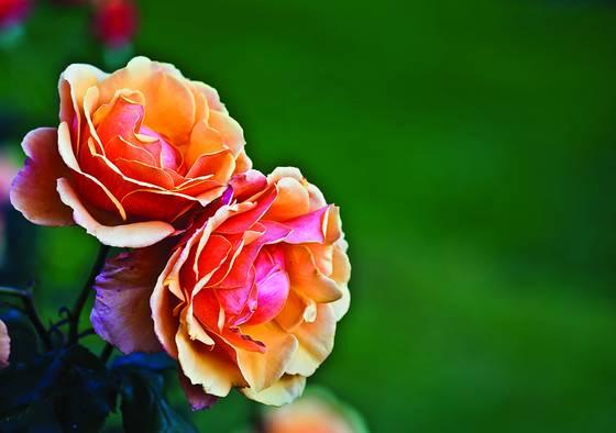 Rose_garden_-2