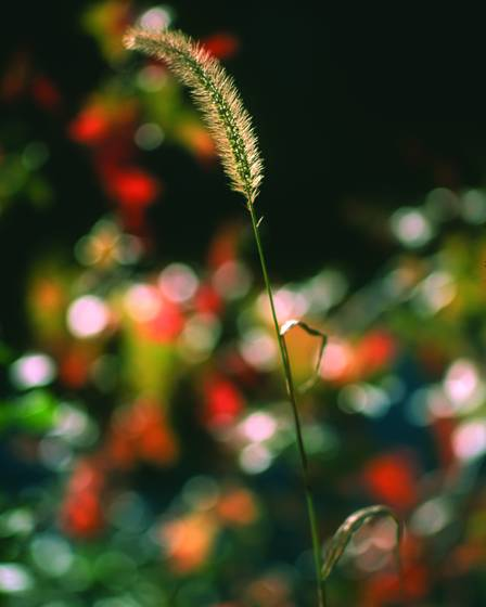 Grass_in_autumn