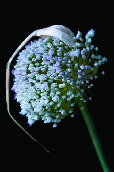 Flowering_leek