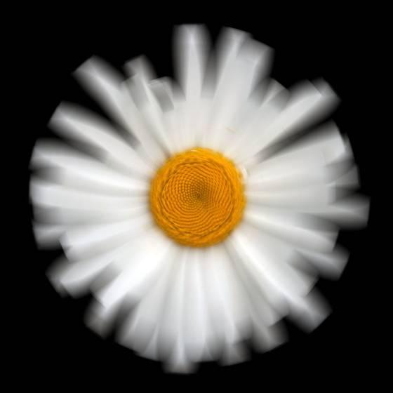 Daisy__4