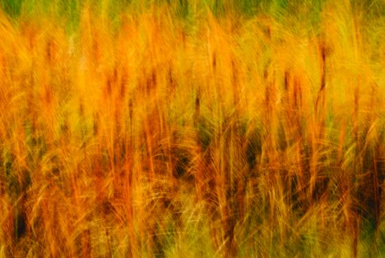Frenetic_cattails