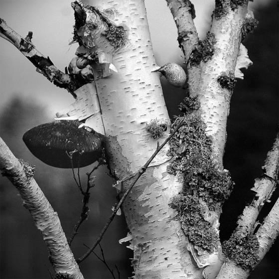 White_birch