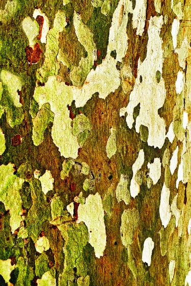 Aspen_tree_trunk