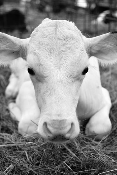 Staring_white_cow