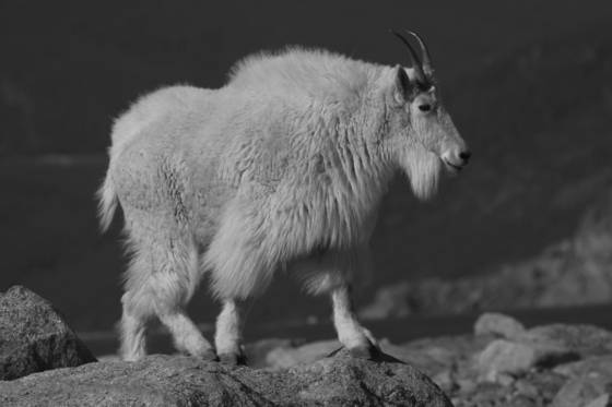 Mountain_goat-12