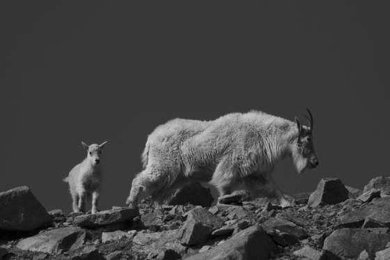 Mountain_goat-2