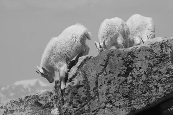 Mountain_goat-3