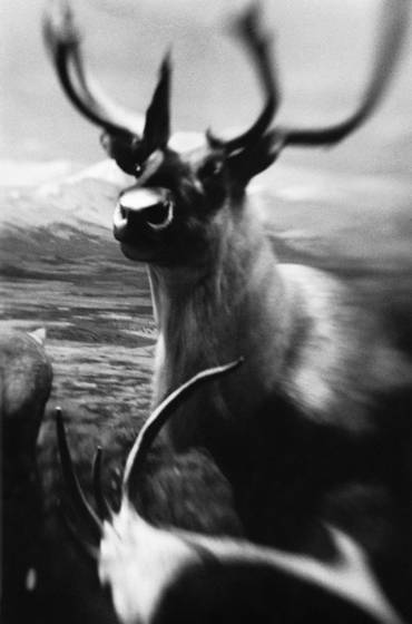 Elk_horn