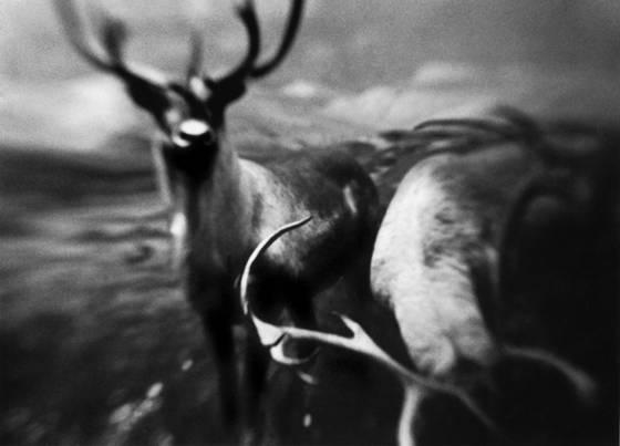 Two_elks