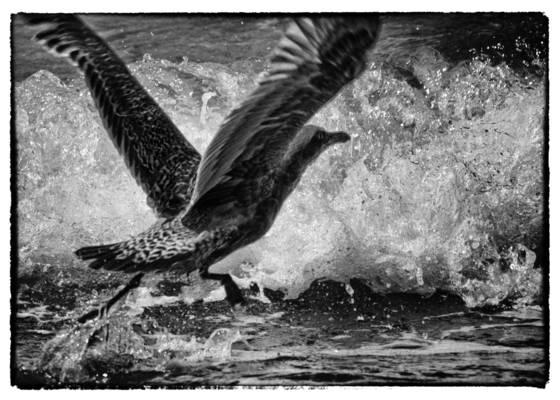 Gull__2