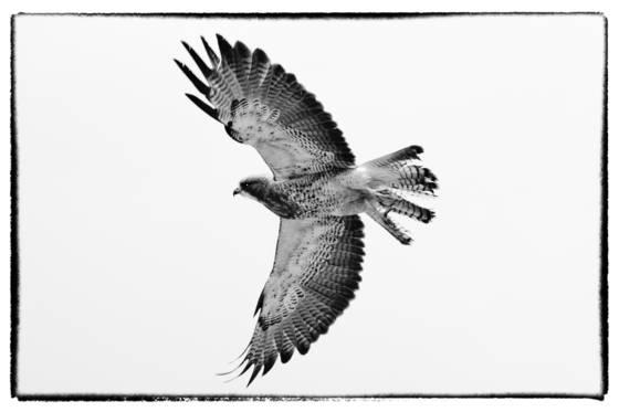 Hawk__2