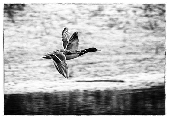 Mallard pair take flight