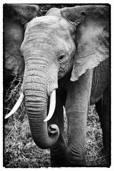 Elephant Portrait by Judith Monteferrante :: Black & White Magazine