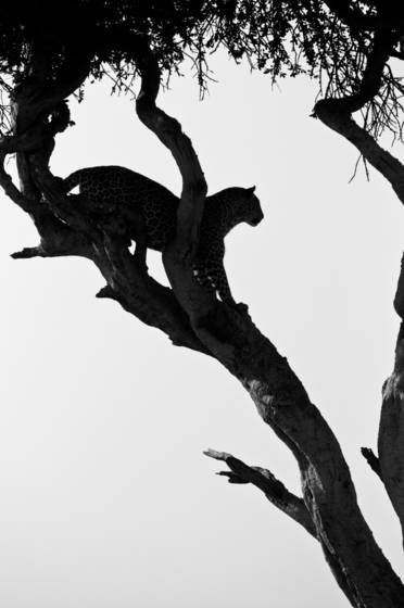 Leopard_silhouette