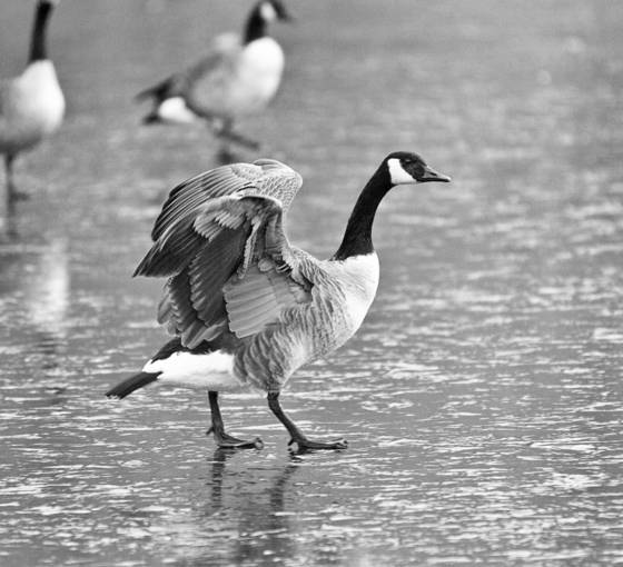 Geese_3