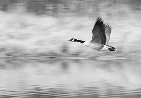 Goose_2