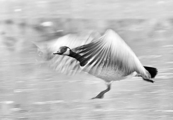 Goose_3