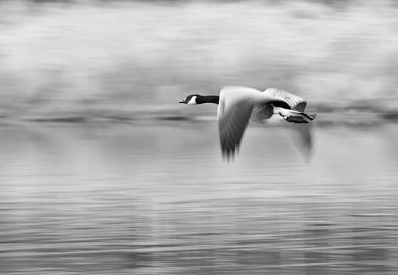 Goose_in_flight