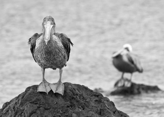 Brown_pelican