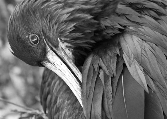 Magnificent_frigatebird