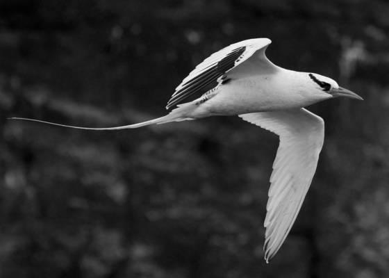 Tropic_bird