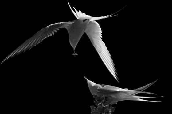 Arctic_tern_dinner_date