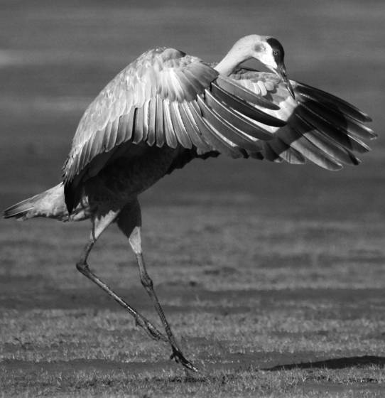Sandhill_crane_mating_dance