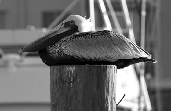 Resting_pelican