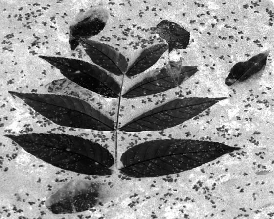 Black_leaf_2