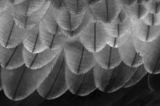 Eagle_feathers