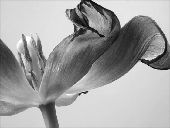 Tulip_5