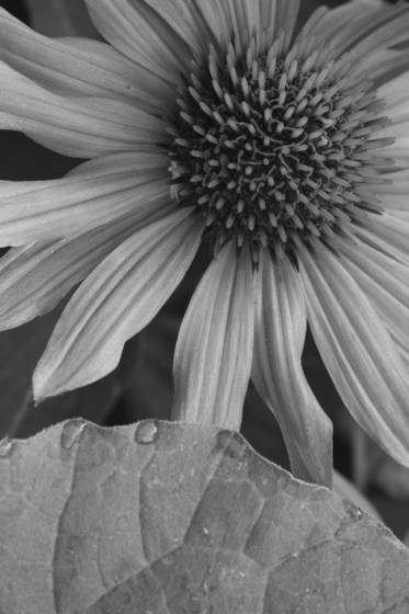 Coneflower