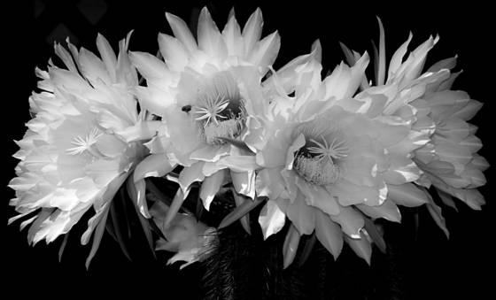 Cactus_blossoms