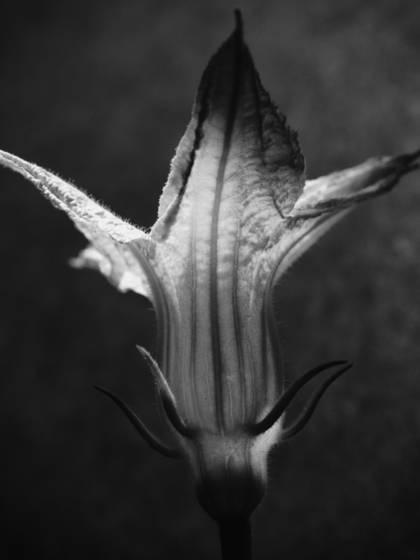 Zucchini_flower