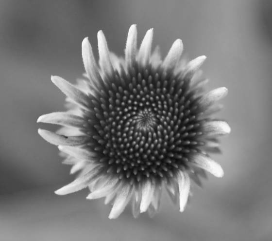 Daisy_bud