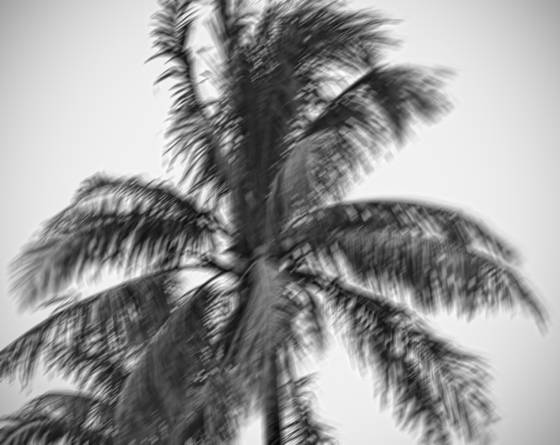 Windblown palms  12
