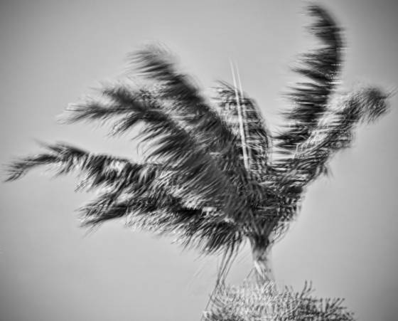 Windblown palms  9