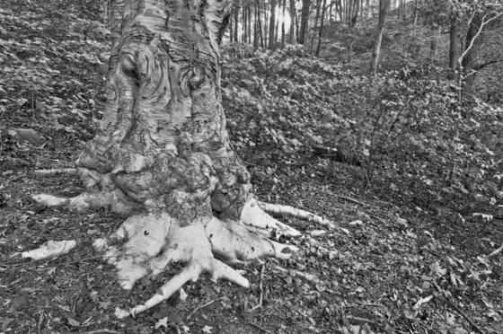 Beech_roots