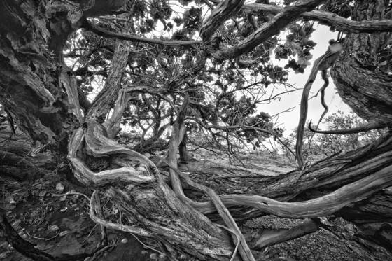Tangled_branches