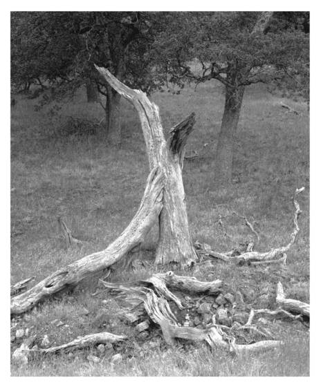 Oak_bones