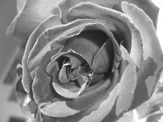 Antique_rose