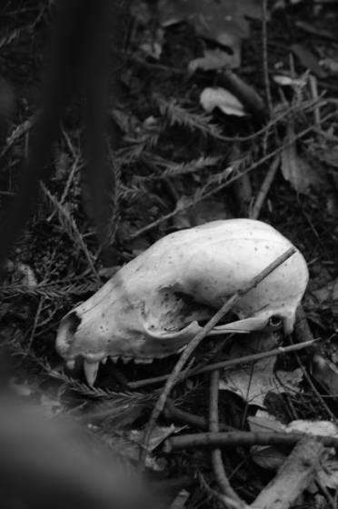 Raccoon skull 1